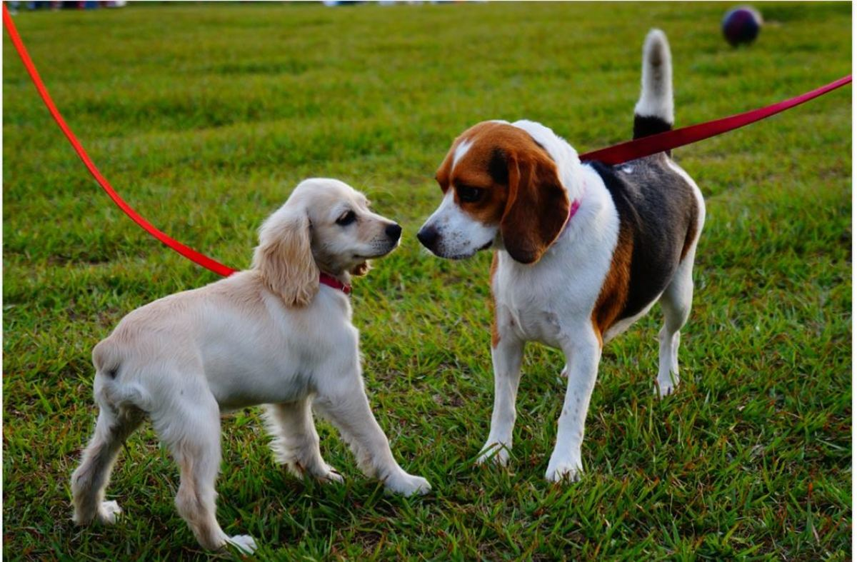 Leashes interfere with natural dog body language and conflict resolution.