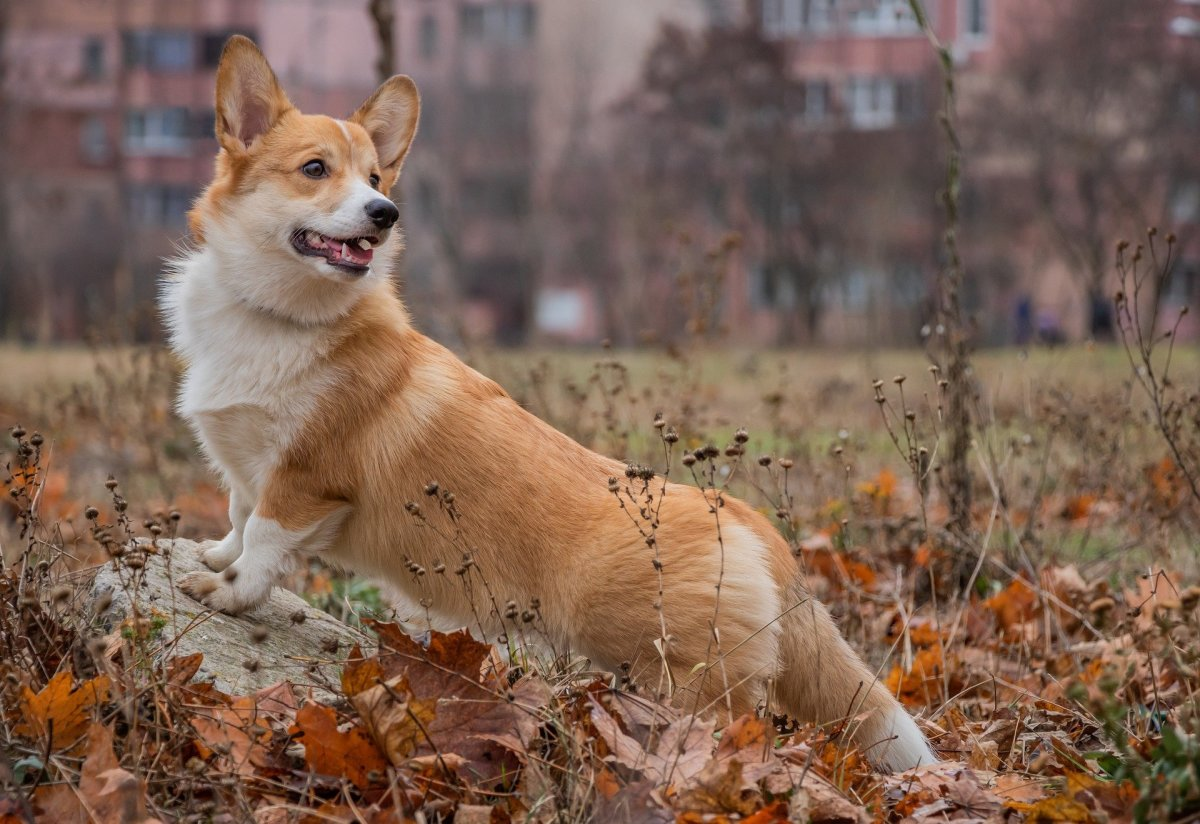 Barking is a strong inhered trait that was selectively bred in the Corgi breed