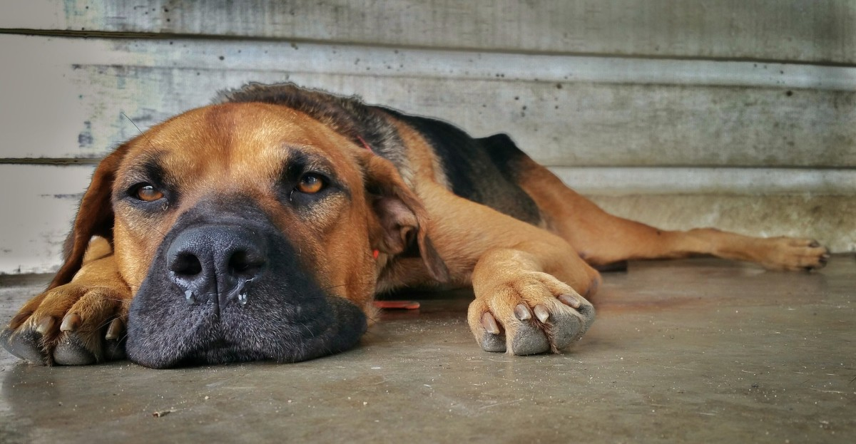 A runny nose in dogs has a variety of causes