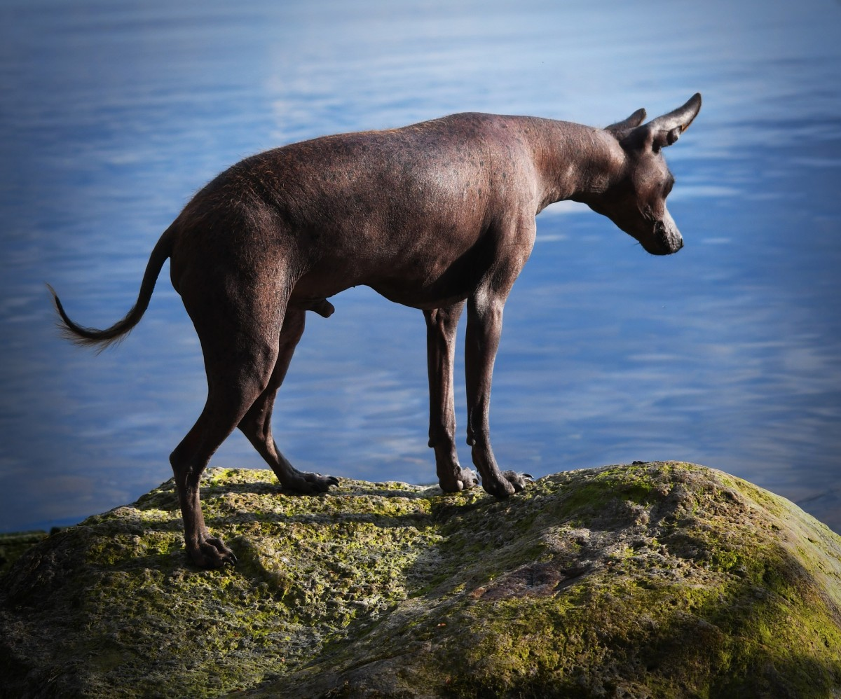 Hairless dog breeds are at particular risk for sun burns.