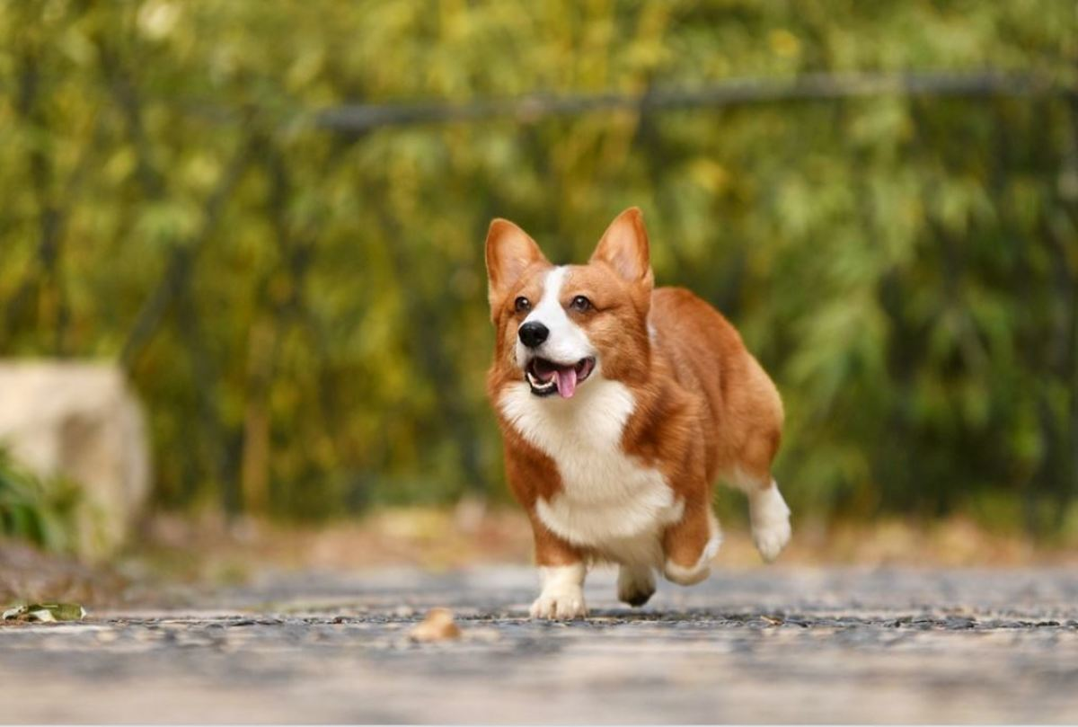 Corgis thrive on exercise, training and mental stimulation and therefore love to be kept busy.
