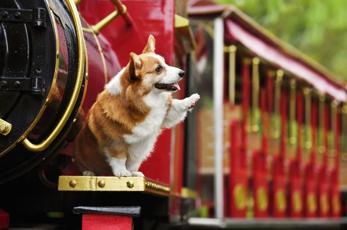 Corgis are social animals who do not like being left alone