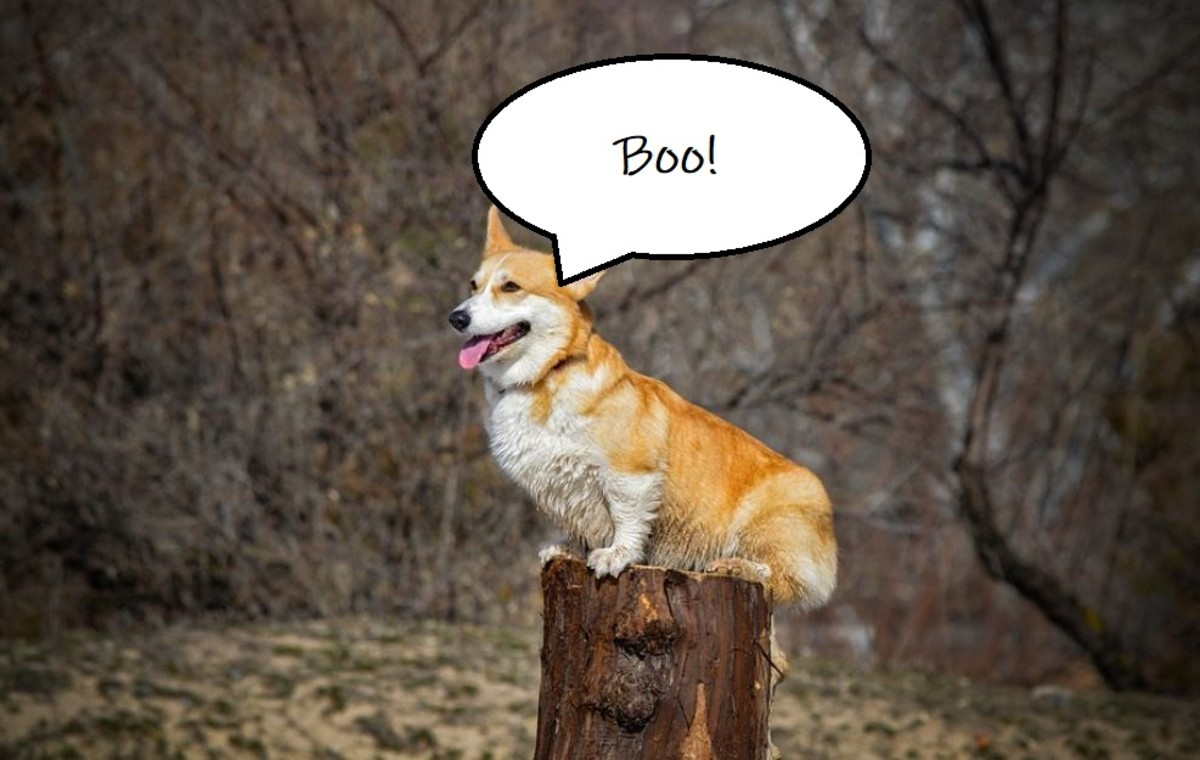 Corgis have a tendency of perceiving themselves as 'big, scary looking dogs' so they really come to believe that it's thanks to their sheer presence and loud barks that people or cars eventually leave their perceived territory.