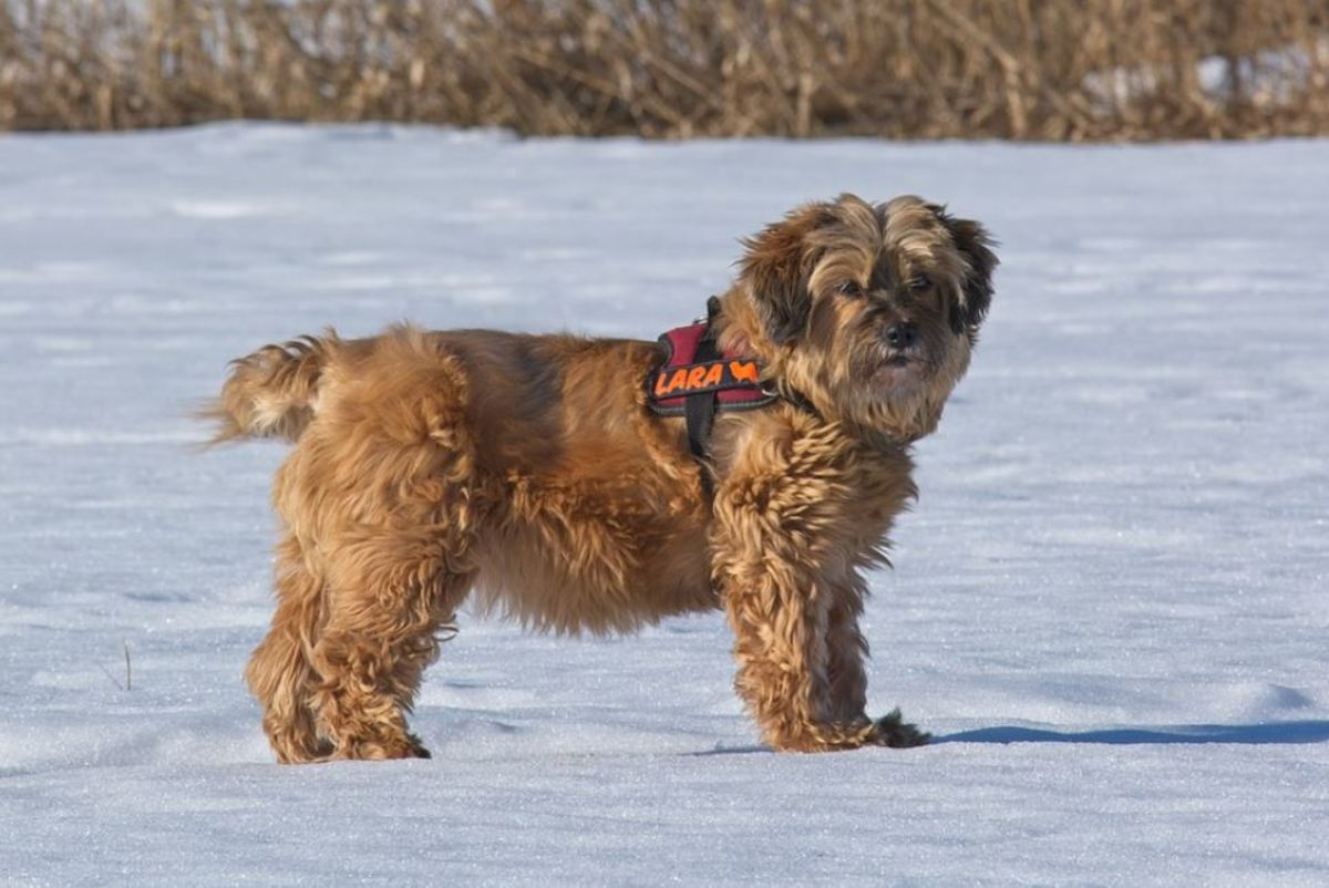 Tibetan terriers have large, flat feet that are round in shape and produce a snowshoe effect that provides traction.